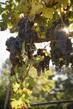 Do You Cut Back Grape Vines at the End of the Year?