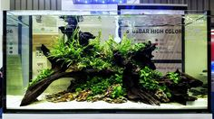 Throwback 2016. Driftwood, dragon rocks and rhizome plants (Bolbitis heudelotii, Microsorum pteropus 'Trident', Anubias nana 'Mini' and Anubias nana). Scaped by our A-Team member Balbi Vaquero at Interzoo 2016 in Germany. #Aquaflora #Aquascaping #planted #aquarium #aquatic #plant #freshwater #plantedtank #aquascape #plantedaquarium #ATeam