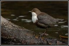 dipper bird - Yahoo Image Search results