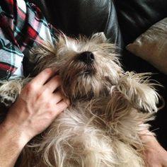 scrabble-scoundrels: Sleepy guy. #cairn #cairnterrier #cairnterriersofinstagram #dog #terrier #tgif #friday #ilovemydog #sleep #Scrabble #scrabblethecairn by scrabblethecairn https://instagram.com/p/2-qIvIKiV5/ Let scrabble into your life. Order a set here:https://jer21mil.storenvy.com/collections/989907-scrabble