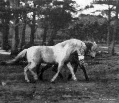 Misty (aka Misty of Chincoteague) Pied Piper x Phantom Chincoteague Pony, Mare Born 1946 Pretty Horses, Horse Love, Beautiful Horses, Animals Beautiful, Cute Animals, Chincoteague Ponies, Chincoteague Island, Miniature Ponies, Horse Books