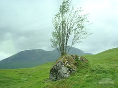 Rowan Tree Growing Out of a Rock Near Glencoe, Sco