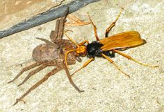 Spider Wasp preys upon a Huntsman's Spider