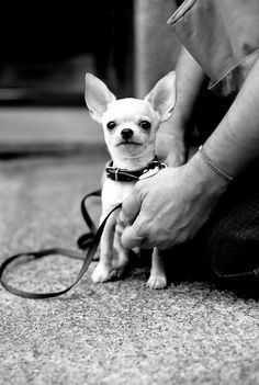 Chihuahua cutie.   Doggie Matchmaker
