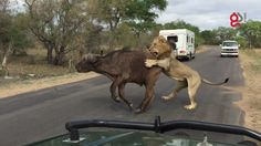 The kill, which was recorded by field guide Marten Lange, saw two buffalo running away from a lion in the Kruger National Park, South Africa, before one was pulled to the floor. Ostriches, Close Encounters, Kruger National Park, Gif Of The Day, Crocodiles, Hyena, Field Guide, Zebras, Marine Life