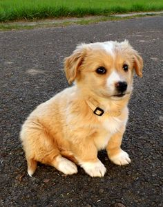 Leonard - Lenny (Chihuahua, Cocker Spaniel, Spitz, Welsh Corgi) Chihuahua Cocker Spaniel Spitz Welsh Corgi