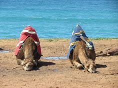 Chameaux ( plutot dromadaires car 1 seule bosse ^^) Cap Sartel - Maroc