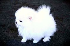 Miniature Pomeranian. <3 <3 ... white or black. Like Big Ang'x Louie and my Curtsey RIP