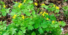 Rostopasca și binefacerile ei fără număr   Paradis Verde Paradis, Medicine, Green, Plant