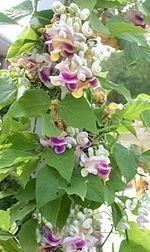 Cochliasanthus - corkscrew vine.