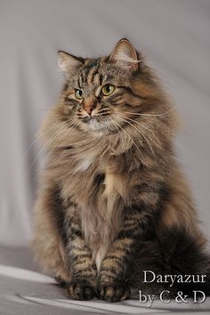 Tabby Cats Brown Evènes de Daryazur, brown mackerel tortie tabby, female Siberian cat by C Cute Cats And Kittens, Cool Cats, Kittens Cutest, White Kittens, Black Cats, Siberian Forest Cat, Chat Maine Coon, Image Chat, Super Cat