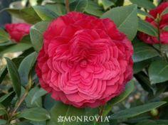 Nuccio's Bella Rossa Camellia