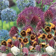 A colorful selection of 50 late spring bloming bulbs that that deer won't eat. Spring Bulbs, Spring Blooms, Deer Resistant Flowers, Allium Sphaerocephalon, End Of Spring, High Country Gardens, Fall Plants, Bulb Flowers, Spring Collection