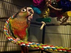 Banzai testing out his Bunch o' Balls Thanks to Wendy Jones for the photo! Parakeets, Parrots, Bird Toys, Beautiful Birds, Balls, Feather, Wings, Pets, Quill