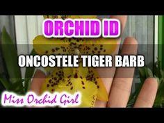 Oncostele (Odontocidium) Tiger Barb Orchid - YouTube