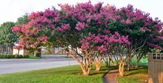 4 Pack Tuscarora Pink Crape Myrtle Trees >>> You can get additional details at the image link.