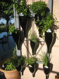Des plantes aromatiques dans des bouteilles de champagne