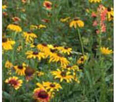 All Perennial Wildflower Mix 1 lb $39 ($50 minimum so this could be good with asclepias)