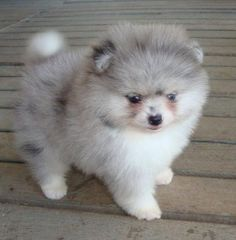 Grey and White Fluffy Pomeranian Puppy