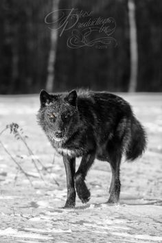 """That Look"" - Black-phase Grey Wolf (Canis lupus) prowls forward - captive animal Holly Kuchera photo taken: Werewolf Stories, Animals Beautiful, Cute Animals, Wolf Pictures, Husky, Big Dogs, Artistic Tattoos, That Look, Wolves Art"