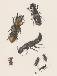 1955 Rove Beetles Antique Print Insects Vintage by Craftissimo