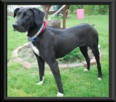 Labradane Puppy Duke At 3 Months Pitbullpuppies3months Puppy