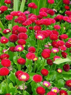 PlantFiles Pictures: English Daisy, Lawn Daisy, Bruisewort 'Pomponette Red' (Bellis perennis) by vince Beautiful Flowers, Fall Flowers, Flowers, Bellis Perennis, Diy Landscaping, How To Make Compost, Daisy, Daisy Flower, Planting Flowers