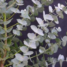 Winterharde Eucalyptus (Eucalyptus gunnii 'Azura' )-directplant