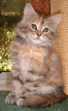 Kitten - Maine Coon Silver Red Tortie Blotched Tabby