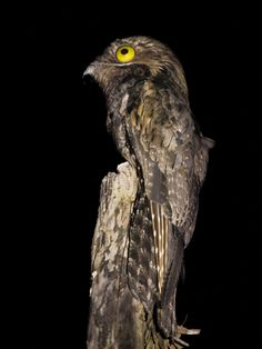 Great Potoo, Potoo Bird, Nocturnal Birds, Bird Gif, Flying Insects, Australian Birds, All Birds, Yellow Eyes, Creature Concept