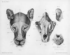 Image result for images of tiger head  showing bone structure