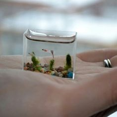 Worlds smallest fish that is not a sea monkey
