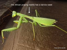 T.E.R:R.A.I.N - Taranaki Educational Resource: Research, Analysis and Information Network - Praying mantis (African) Miomantis caffra