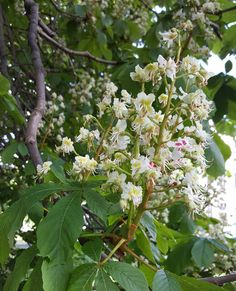 Horse chestnuts are blooming and wishing us great weekend  #hevoskastanja #horsechestnut #kesä #kesätulee #summer #summermood #puutarha #garden #gardenphoto #ig_garden #flower #flowerstagram #ig_flowers #flowerpower #lifeisgood #lifestyleblogger #nelkytplusblogit #åblogit