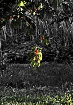 Lumière sur les cerises - null