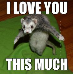 #ferret #animal #awesome #cute #cool #wardance #funny #smile #paws #furry #love