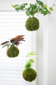 This trio of kokedama, or Japanese moss balls, brightens up an otherwise blank corner by the window. Learn how to make your own in this easy tutorial! Container Plants, Container Gardening, Urban Gardening, Indoor Gardening, Organic Gardening, Plant Design, Garden Design, Growing Moss, Gardens