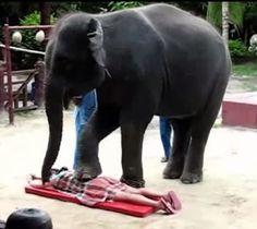 """""""O Grito do Bicho"""": Na Tailândia, elefantes fazem massagens a turistas..."""