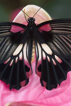 Pink and black butterfly outdoors nature flowers butterfly insects macro Papillon Butterfly, Butterfly Kisses, Butterfly Flowers, Mariposa Butterfly, Butterfly Gifts, Butterfly Photos, Glass Butterfly, White Butterfly, Beautiful Creatures