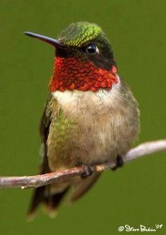 A~Ruby-throated Hummingbird. Hummingbird Painting, Hummingbird Tattoo, Hummingbird Migration, Exotic Birds, Colorful Birds, Beautiful Birds, Animals Beautiful, Pretty Birds, Bird Tattoo Meaning