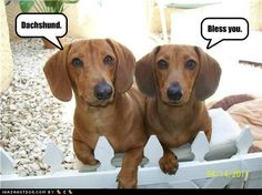 Fave pin of the day:  polite dachshunds.