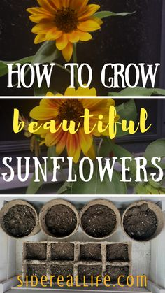 How to grow sunflowers from seeds! Looking for ways to grow an eye-catching, manicured, and budget friendly garden this summer? Use my step-by-step guide on how to start, grow, and plant sunflowers from seeds for beautiful blooms throughout the summer!