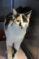 Liyah is an adoptable Calico Cat in Henderson, KY. Liyah is appr.8 months old and is ready for a new home. I am ready for my new home! Please come save me today! My adoption fee includes ALL of the fo...