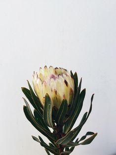 contamos mais sobre a Protea e sua origem na coluna Natureza em Casa (Foto: FLO Atelier Botânico)