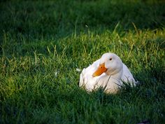 Aylesbury Duck. Heritage breed duck great for reducing the snail population in your garden