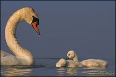 Swan lessons
