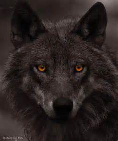 History of Attitudes Toward Wolves