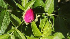 #ruusun nuppu #rose