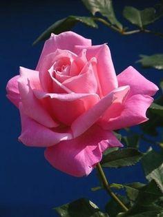 Lovely #RoseGarden