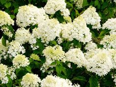 Summer-blooming hydrangea, a hedge-style, hardy landscape plant, offers a colorful display through fall. A bonus for the homeowner: Cuttings will last nearly two weeks in floral displays.